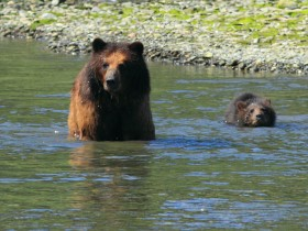 brown bear with cub swimming