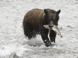 grizzly bear salmon in mouth