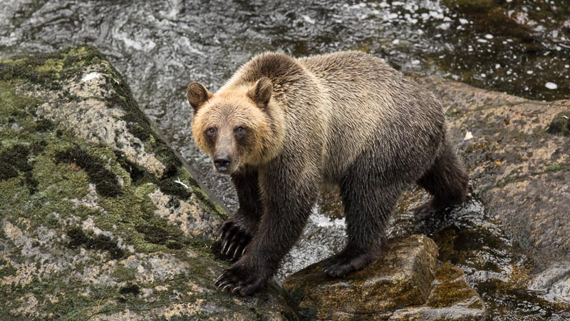 Brown bear at Anan Creek