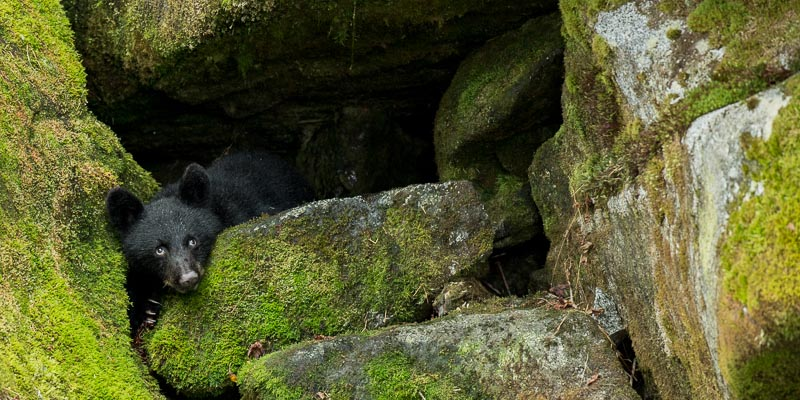 Black bear in cave at Anan Creek