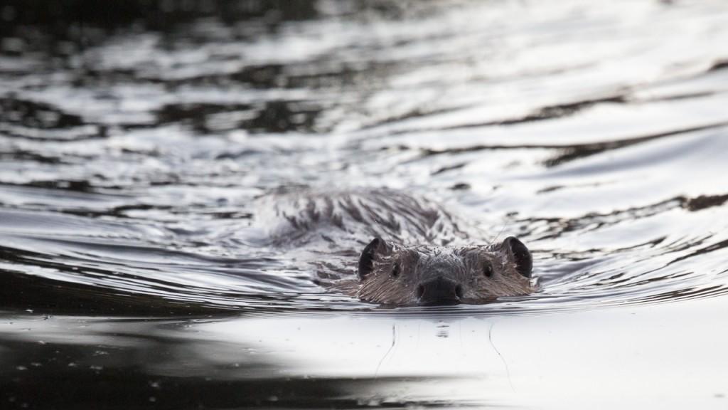 Tetons beaver