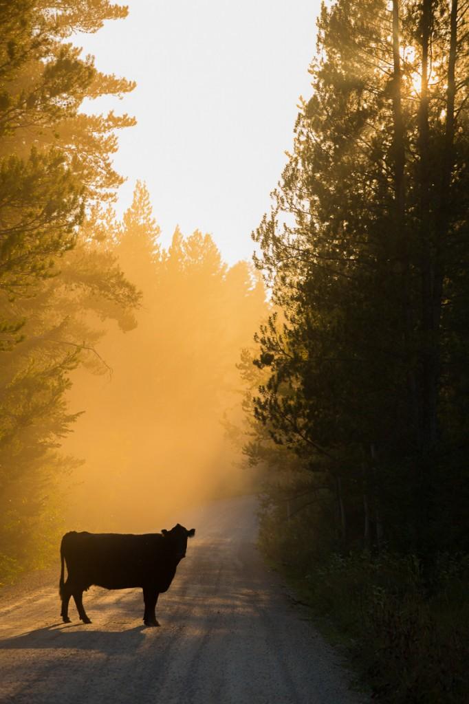 Idaho cow road