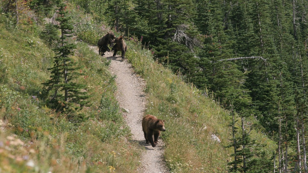 Grizzly bears on trail Glacier National Park