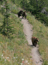 grizzly bear family on hiking trail, 	glacier